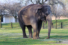 Elephant on grass. In zoo Royalty Free Stock Image