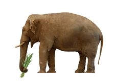 Elephant with grass Royalty Free Stock Images