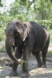 Elephant. Grass feeding animal asia nepal forest green brown trunk female Stock Photo