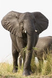 Elephant in grass on river Royalty Free Stock Photo
