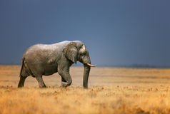 Elephant in grassfield. Elephant bull walking in open grassfield; Loxodonta Africana; Etosha Stock Photos