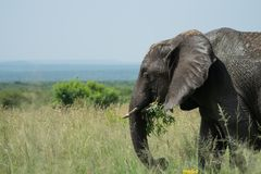 Elephant in a grassland in South Africa from a side holding a branch royalty free stock photography