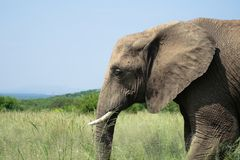Elephant in a grassland in South Africa from a side stock image