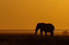 Elephant in a grasslands with sunrise Royalty Free Stock Image