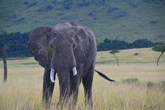 Elephant on a grassy plain. Old Elephant on a grassy plain in African Game Reserve Royalty Free Stock Photo