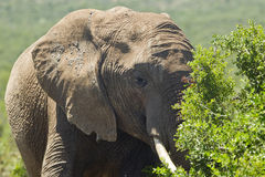 Elephant grazing Royalty Free Stock Photo