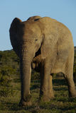 Elephant grazing. Female elephant in south africa, with nice evening light Royalty Free Stock Image