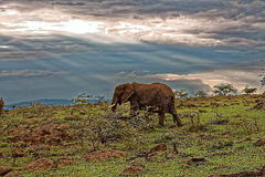 Elephant grazing against backdrop of Sunset and light passing through clouds Royalty Free Stock Images