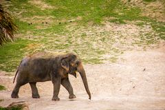 Elephant grazing and eating grass stock photography