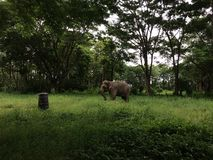 Elephant grazing fields in Thai jungle stock photos
