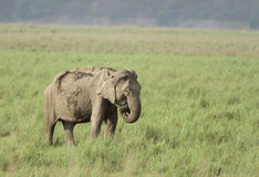 Elephant grazing in the grassland Stock Image