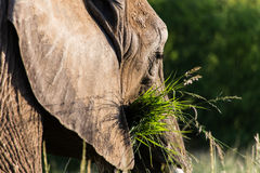 Elephant grazing. Elephant on grazing of juicy grass royalty free stock photography