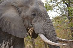 Elephant grazing. In the Kruger National Park near Pafuri Stock Photo