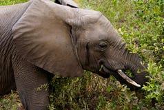Elephant Grazing in Lake Manyara National Park. Elephant grazing in the bush in Lake Manyara National Park in Tanzania royalty free stock photos