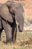 Elephant Grazing Stock Images