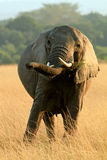 Elephant Grazing Stock Photography