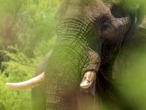 Elephant in green Stock Photography