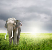 Elephant in green field and rainclouds Royalty Free Stock Photography