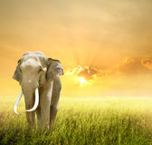 Elephant in green field and sunset Stock Image