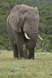 Elephant and green grass Stock Images