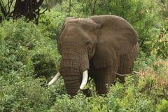 Elephant in green vegetation Stock Image