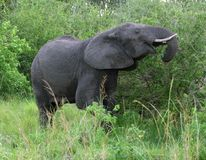 Elephant in green vegetation Stock Images