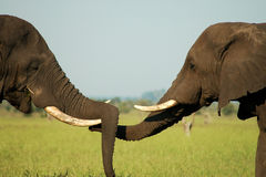 Elephant greeting. Two elephants share a greeting in the Kruger National Park Royalty Free Stock Photos