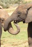 Elephant Greeting Royalty Free Stock Photos