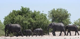 Elephant group on the Chobe River Front in Chobe National Park. Botswana royalty free stock image
