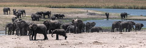 Elephant group on the Chobe River Front in Chobe National Park. Botswana royalty free stock photography
