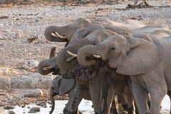 Elephant group drinking. Group of African Elephants (Loxodonta) drinking at waterhole, Etosha National Park, Namibia royalty free stock images