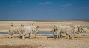 Elephant group in Etosha National Park. Namibia Stock Photo