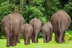 Elephant Group Family In Jungle stock photos