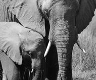 Elephant group - a mothers love. Elephant group  in the grass in Botswana - black and white Royalty Free Stock Photography