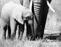 Elephant group - a mothers love. Elephant group in the grass in Botswana - black and white Stock Image