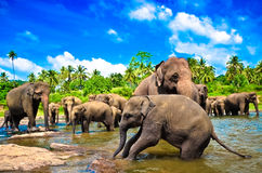 Elephant group in the river. In Sri Lanka Royalty Free Stock Photo