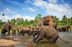 Elephant group in the river. Sri Lanka Royalty Free Stock Photo