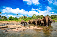 Elephant group in the river. In Sri Lanka Royalty Free Stock Images