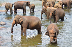 Elephant group in the river. In Sri Lanka Stock Images