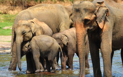 Elephant group in the river Royalty Free Stock Photography