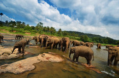 Elephant group in the river. In Sri Lanka Royalty Free Stock Photography
