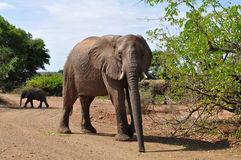 Elephant guarding the road,Kruger national park, Royalty Free Stock Images