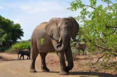 Elephant guarding the road,Kruger national park, Royalty Free Stock Image