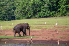Elephant with habitat. Elephant sighted in western ghats forests of India. Elephants are the largest mammals on earth. They generally live in herds, but tuskers Stock Images