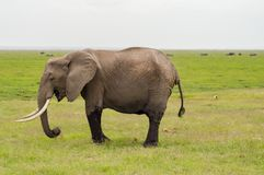 Elephant half immersed in the marshes of Amboseli Stock Image