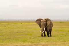 Elephant half immersed in the marshes of Amboseli Park in Kenya Stock Photography