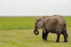 Elephant half immersed in the marshes of Amboseli Park Stock Photos