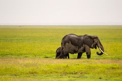 Elephant half immersed in the marshes Stock Photography