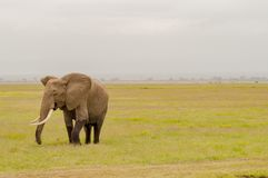 Elephant half immersed in the marshes Royalty Free Stock Images