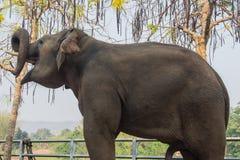 Elephant happy Royalty Free Stock Photo